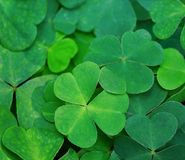Natural green background with fresh three-leaved shamrocks.Close-up of Clover Leaves. St. Patrick`s day holiday symbol. Top View stock images