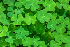 Natural green background with fresh three-leaved shamrocks. St. Patrick`s day holiday symbol. Top View.  royalty free stock photo