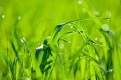 Natural green background with grass. Royalty Free Stock Photo