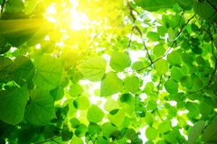 Natural green background with leaves Royalty Free Stock Image