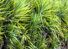 Natural green background of the leaves of a palm tree.  Royalty Free Stock Photo