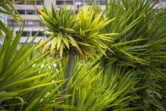 Natural green background of the leaves of a palm tree.  Stock Photos