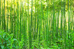 Natural green background with reed or bamboo. Royalty Free Stock Photo