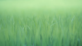 Natural green background. Soft natural green background. rice crops on the rice field Stock Images
