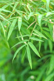 Natural green bamboo leaf Stock Images