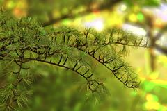 Natural green bokeh background with pine branch. Natural green bokeh background, with pine branch stock image