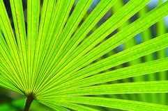 Natural Green Fan. Fan shaped green palm leaf with light reflected in the middle stock images
