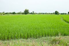 Natural green field paddy countryside landscape Stock Photo