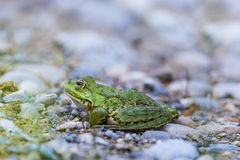 Natural green frog Rana esculenta sitting on stones Royalty Free Stock Photography