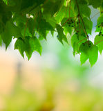 Natural green grape leaves covering Stock Image