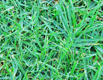 Natural green grass Royalty Free Stock Image