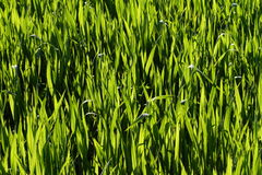 Natural green grass. Image of natural green grass field in high resolution Royalty Free Stock Image