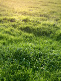 Natural green grass Royalty Free Stock Photos