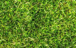 Natural green grass background. Green grass field photo background. Spring banner of fresh green grass. Royalty Free Stock Photo