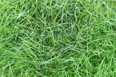 Natural green grass background Royalty Free Stock Images