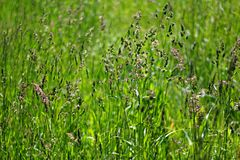 Natural green grass background. royalty free stock image