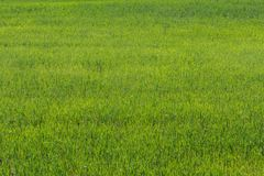 Natural green grass background texture. Element of design. Royalty Free Stock Photos