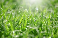 Green grass background texture. Natural green grass background texture and have light of sunshine Royalty Free Stock Images