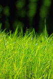 Natural green grass in bright sunlight. Green grass in the forest, macro, shallow depth of field Royalty Free Stock Photos