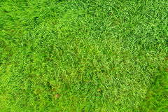 Natural green grass field. Image of natural green grass field, can be used as background Royalty Free Stock Images