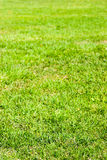 Natural green grass field texture in bright sunlight. Early fall Royalty Free Stock Photo