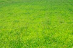 Natural green grass texture Royalty Free Stock Photos