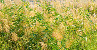 Natural green grass texture. Plant of the field Stock Photography