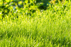 Natural green grass under green and yellow blurred background. Natural green grass on green blurred background stock image