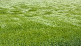 Natural green grass with the waves of wind. background texture. Element of design. Waves of wind rolling through fields Stock Image