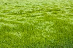 Natural green grass with the waves of wind. background texture. Element of design. Waves of wind rolling through fields Royalty Free Stock Images
