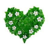 Natural green heart pattern made of ivy leaves and white flowers. Flat lay Stock Photo
