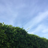 Natural green hedge and blue sky background Stock Images