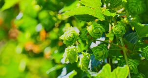 The branch with green hop cones. Natural green hop cones on branch. The fresh beer ingredients. The shot from the hand. Copy space stock footage
