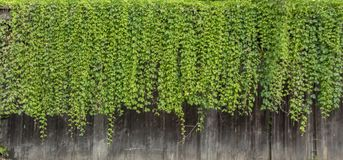 Natural green ivy vine plants wall from wood canopy.  royalty free stock image