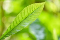 Natural green leaf on blurred sunlight  background in garden ecology fresh leaves tree close up beautiful plant in the nature stock images