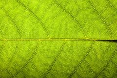 Natural green leaf fresh detailed rugged surface structure extreme macro closeup photo eco green background stock photos