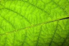Natural green leaf fresh detailed rugged surface structure macro closeup photo diagonal midrib leaf veins grooves imperfections royalty free stock image