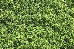 Natural green leaf seamless bush wall Royalty Free Stock Photos