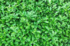 Natural green leaf texture Stock Photography