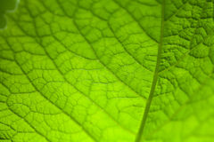 Natural green leaf texture. Royalty Free Stock Image