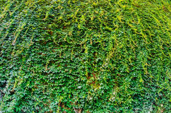 Natural green leaf wall, eco friendly background Stock Photos