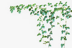 Natural green leave backdrop, wild climbing vine on white backgr. Ound, soft focus Stock Photos