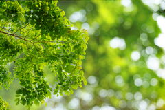 Natural green leaves with blur bokeh spring or summer background Royalty Free Stock Photo