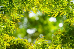 Natural green leaves border with blur bokeh spring or summer background Stock Photography
