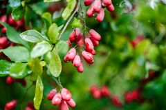 Natural green leaves branch of ripe red barberry after a rain with drops of wate Royalty Free Stock Photo