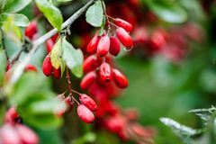 Natural green leaves branch of ripe red barberry after a rain with drops of wate Royalty Free Stock Images