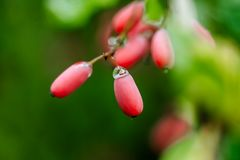Natural green leaves branch of ripe red barberry after a rain with drops of wate Stock Photography