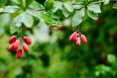 Natural green leaves branch of ripe red barberry after a rain with drops of wate Royalty Free Stock Image