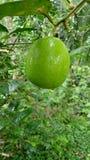Natural lemon tree stock image