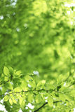 Natural green with lime leaves. Stock Photos